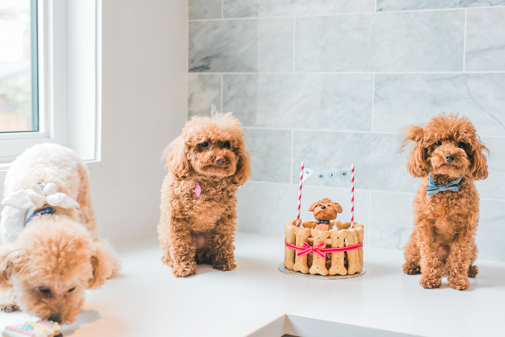 Toronto_Toy_Poodle_Puppy_Birthday_Party-Rhythm_Photography