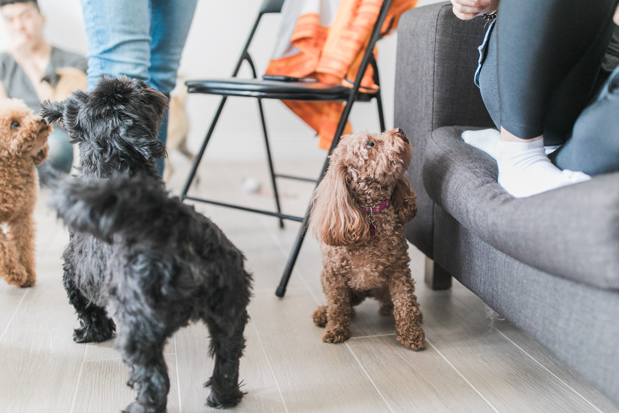 Toy_Poodle_Dog_Birthday_Party_Photo