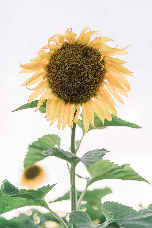 Sunflower Field Engagement